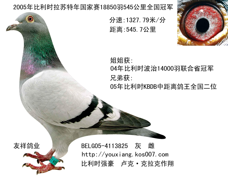 赛鸽公棚冠军鸽图片