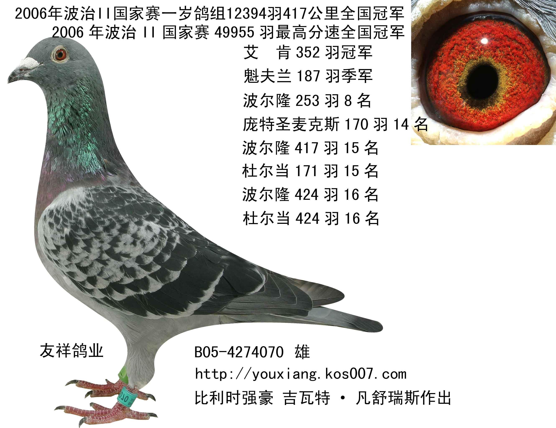名家赛鸽冠军鸽图片