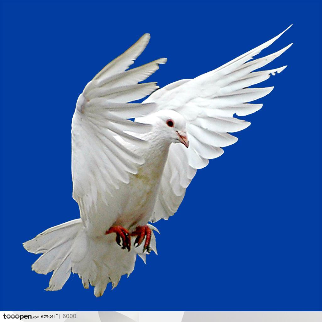 飞翔的鸽子素材