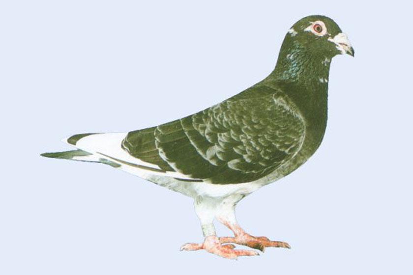 动物 鸽 鸽子 鸟 鸟类 840_560