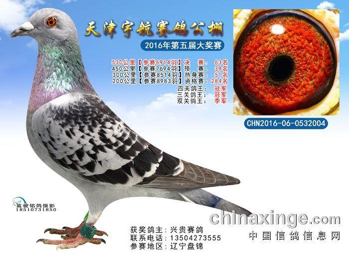 盘锦兴贵赛鸽