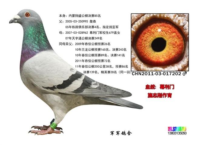 ,那就是赛鸽的眼志的形状是可以遗传的,遗传的效果非常的直观