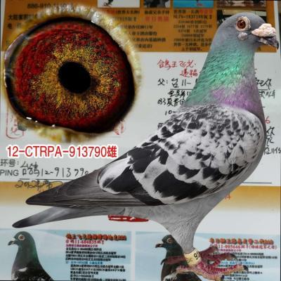 台湾帝王鸽舍790雄