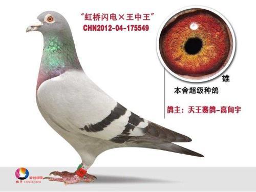 天王赛鸽―高向宇
